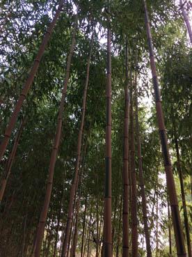 Borja_Bambou